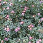 Vi har eventuellt identifierat dessa två buskar som Rosa Rubrifolia. De står vid uteplatsen och blommar över väldigt snabbt.
