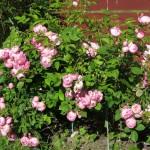 Den här rosa har vacka blommor som ser ut som rosor man ser på tavlor och liknande!