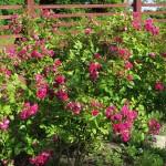 Överdådigt blommande rosa och lite flikiga blommor, som nejlikor.