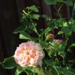 Den här har blommor som skiftar från rosa till gult, väldigt snygga!