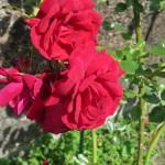 En av favoriterna, nog den enda som drar åt rött i hela trädgården!